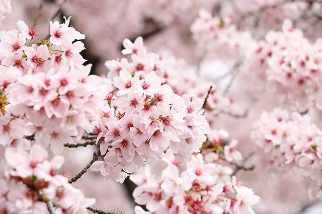 天白区の花見