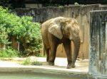 東山動植物園ゾウ